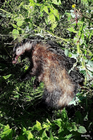 Dead Badger - spotted lying on roadside verge near nature reserve - probably hit by a car